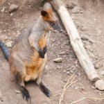 Animales como el canguro desde el Toronto zoo